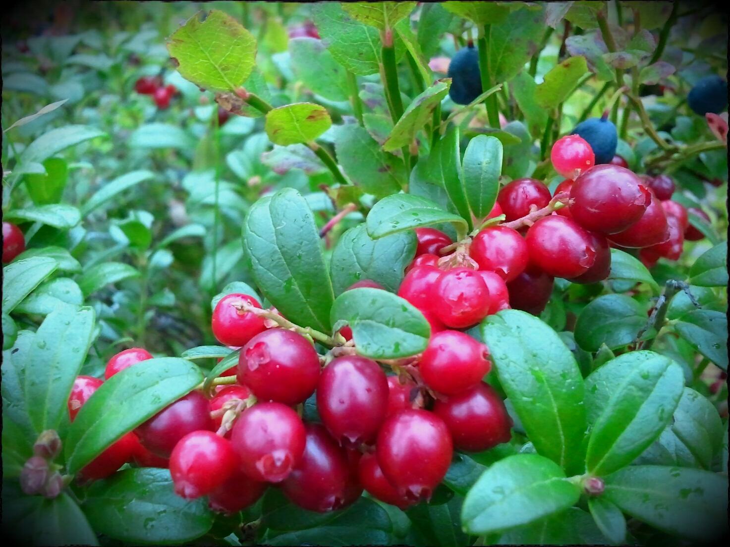 Lingon Berry Juice Powder